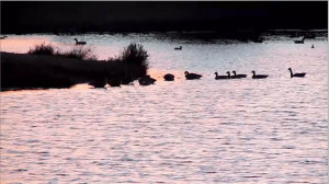 waterfowl_youtube