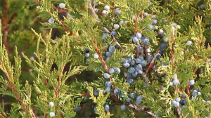 bluejuniperberries_small