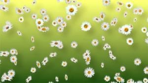 whitedaisies_small