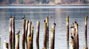 cormorantsandgulls_small